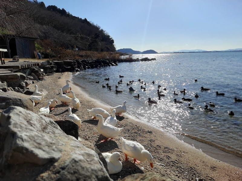滋賀県-カフェ-琵琶湖-周辺-景色-湖岸-シャーレ水ヶ浜-cafe-chalet-琵琶湖景色-絶景-アヒル